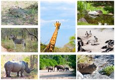 African wild animals collage, South Africa. African wild animals collage, fauna diversity in Kruger Park, South Africa stock image