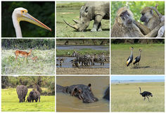African wild animals. Safari collage large group of fauna stock image