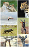 African wild animals. Safari collage, large group of fauna stock photography