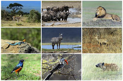 African wild animals. Safari collage, large group of fauna royalty free stock photos