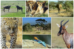 African wild animals. Safari collage, large group of fauna stock images
