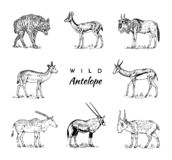 African wild antelope, deer or doe. Duiker and springbok. An animal in a safari. Vintage Mammal, Engraved hand drawn old vector illustration
