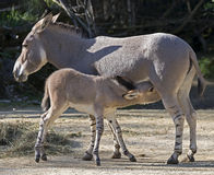 African wild ass 2 Stock Image