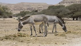 African wild ass  in Israeli nature reserve stock footage