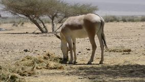 Onager in Israeli nature reserve stock footage