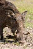 African wild boar Stock Photos