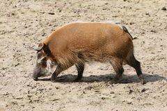 African Wild Boar (Potamochoerus porcus) Royalty Free Stock Photos