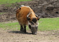 African Wild Boar (Potamochoerus porcus) Stock Image