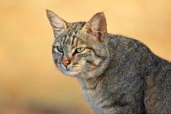 African wild cat. Portrait of an African wild cat (Felis silvestris lybica), Kalahari desert, South Africa Stock Images
