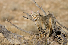 African wild cat. An adult African wild cat hunting in the Kgalagadi Transfrontier Park Royalty Free Stock Photo
