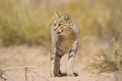 African Wild Cat. In the kalahari fields Royalty Free Stock Photos