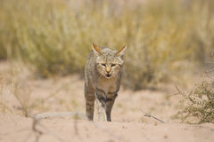 African Wild Cat. Walking in the savannah Stock Images