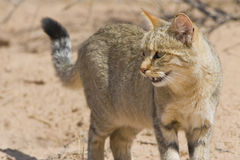 African Wild Cat. On in the Kalahari Royalty Free Stock Photography