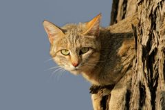 African wild cat. An African wild cat (Felis silvestris lybica) lying in a tree, Kalahari desert, South Africa Stock Photography