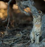 African_wild_cat_in_the_bush Στοκ εικόνα με δικαίωμα ελεύθερης χρήσης