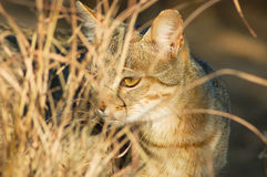 African wild cat Felis silvestris. Shy African Wild Cat Felis silvestris peeping through long dry grass in South Africa Stock Photo
