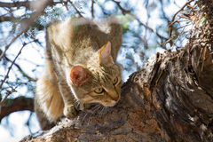 African wild cat looking for food high up Stock Image