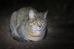 African wild cat lying on the ground in spotlight Stock Photo
