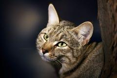 African Wild Cat Portrait. African Wild Cat - Felis silvestris lybica - Kalahari desert - South Africa Stock Photos