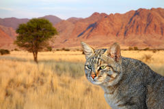 African wild cat Royalty Free Stock Photo