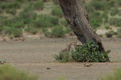 African_wild_cats Στοκ εικόνες με δικαίωμα ελεύθερης χρήσης