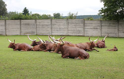 African wild cattle Stock Images