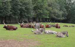 African wild cattle and zebras Stock Photo