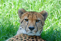 African Wild Cheetah Resting. Image of an African wild Cheetah lying in the grass Stock Photography
