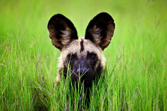 African wild dog. Body language is important form of communication for Royalty Free Stock Image