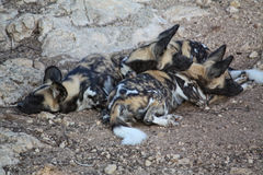 African Wild Dog. In Tunisie, Africa Stock Photography
