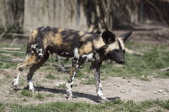 African wild dog. The African Wild Dog is a medium-sized canid found only in Africa, especially in savannas and other lightly wooded areas. It is also called the Stock Image