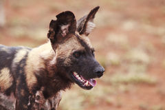 African wild dog. Portrait of an African wild dog, South Africa Stock Photography
