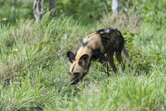 African Wild Dog. A picture of an African wild dog, they look quite cute, but looks are deceiving Stock Photo