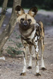 African Wild Dog. Standing at the edge of the forest Royalty Free Stock Photos
