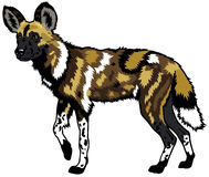 African wild dog Royalty Free Stock Images
