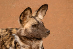 African wild dog. Portrait of an African wild dog or painted hunting dog (Lycaon pictus), South Africa Stock Photo