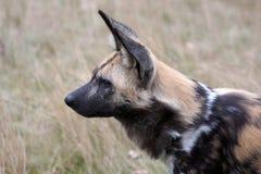 African Wild Dog. Portrait of an African Wild Dog Stock Photos