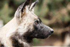African Wild Dog Stock Image