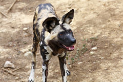 Free African Wild Dog Royalty Free Stock Photography - 48025397