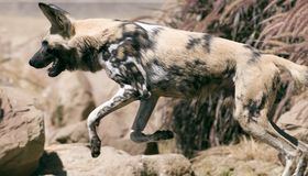 African wild dog. The African Wild Dog has an irregular pattern of black, yellow, and white, distinctive for each individual Stock Photography