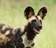 African Wild Dog. Highly endangered species of Africa, photographed in the wild Royalty Free Stock Photo