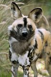 African wild dog. The African wild dog has a with an irregular pattern of black, yellow, and white, distinctive for each individual Stock Photos