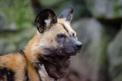 African wild dog Royalty Free Stock Photos