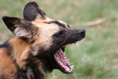 African wild-dog. Showing his teeth Royalty Free Stock Images