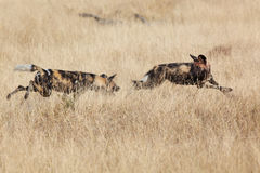 African Wild Dog. S, Lycaon Pictus, running and playing in the african savannah. Movement on the edges, shallow Depth of Field Stock Images