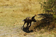 African Wild Dog in action Stock Photo