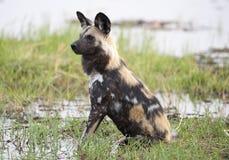African wild dog. Africa Botswana Okavango  delta african wild dog Stock Images