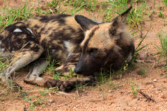 African wild dog or african painted dog, Kruger National Park, South Africa Royalty Free Stock Image