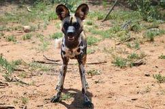 African Wild Dog. In bushveld, Namibia, Africa Royalty Free Stock Photos
