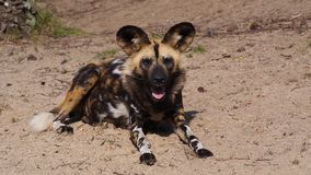 African wild dog. Lying in sand Royalty Free Stock Photos